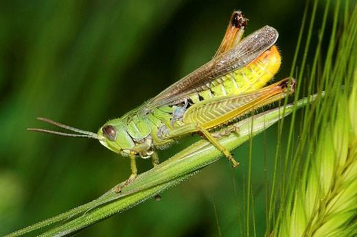 Stock Photo: 1566-520948 Grasshopper