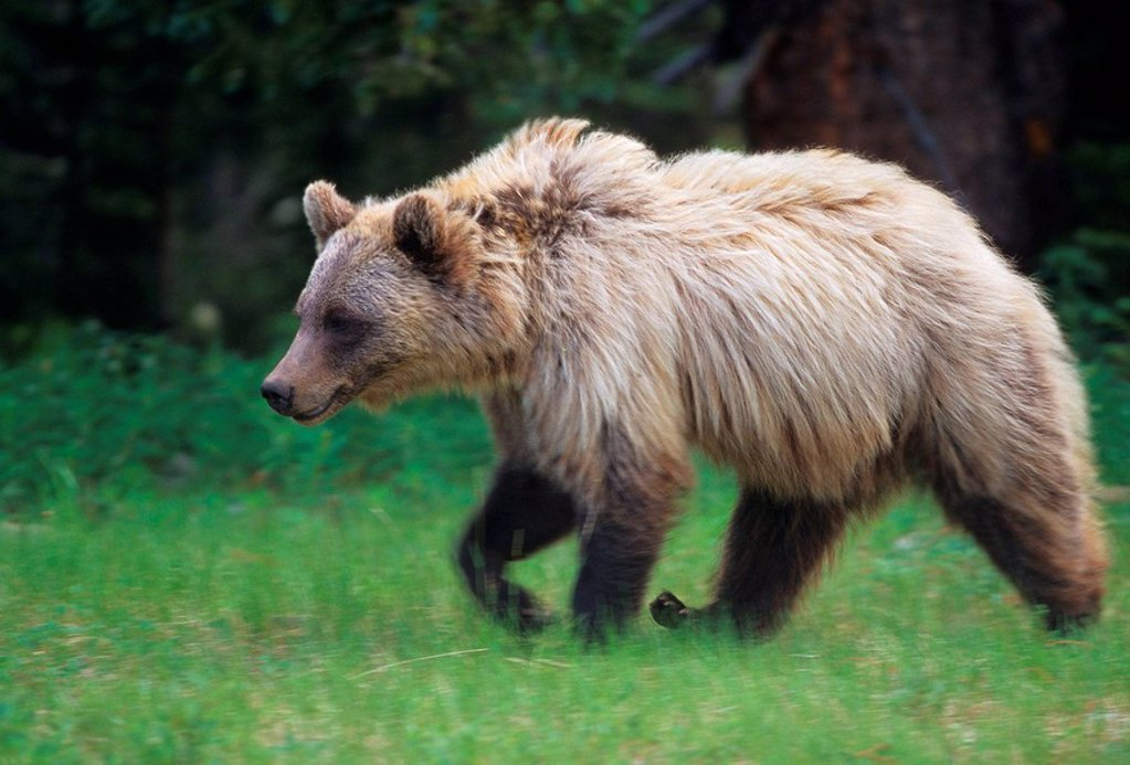 Adult grizzly bear : Stock Photo