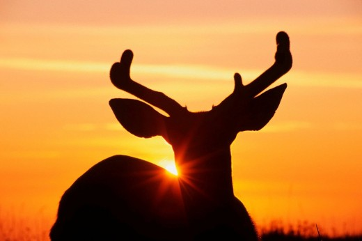 Stock Photo: 1566-522929 Blacktail or mule deer, silhouetted at sunset