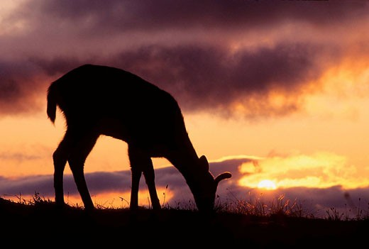 Blacktail or mule deer silhueted at sunset : Stock Photo