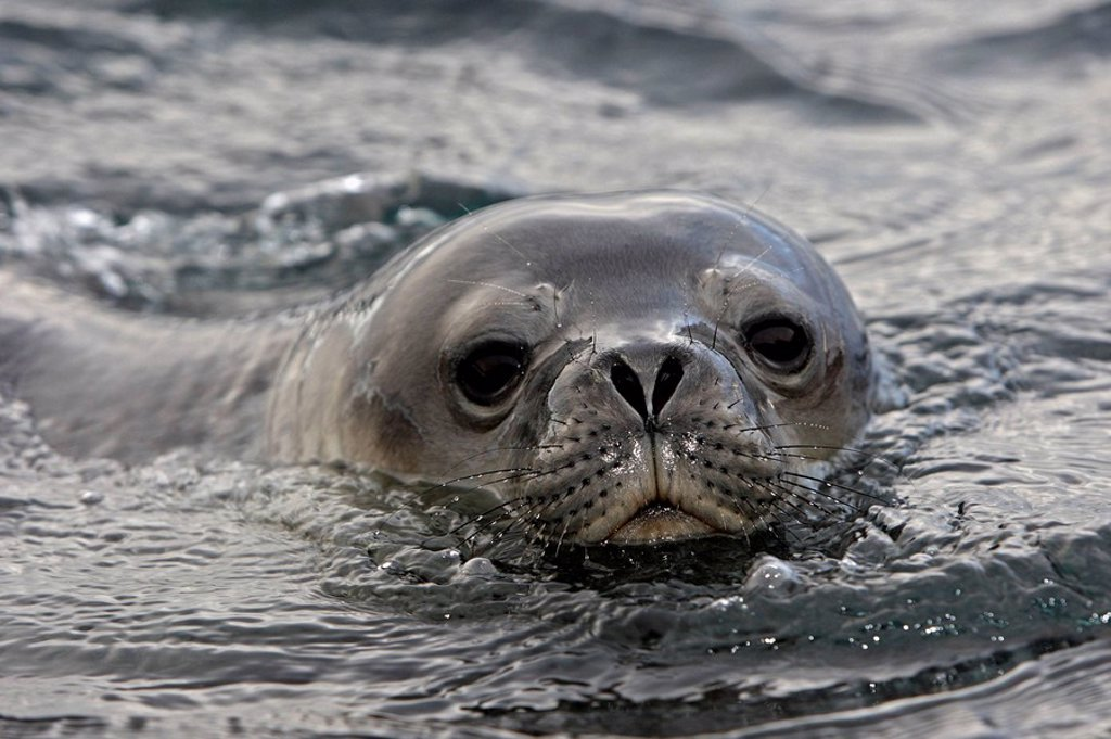 Stock Photo: 1566-525546 Weddell Seal (Leptonychotes weddellii), Antarctica