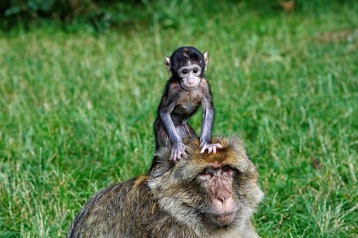 Stock Photo: 1566-525551 Barbary Macaque (Macaca sylvanus). Montagne des Singes park, Kintzheim, Alsace, France