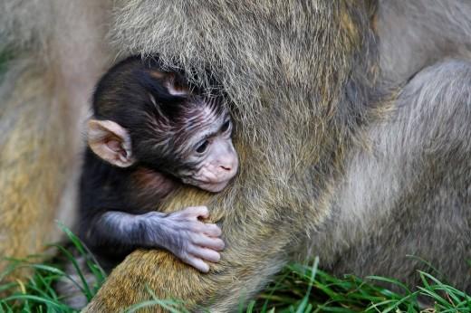Stock Photo: 1566-525552 Barbary Macaque (Macaca sylvanus). Montagne des Singes park, Kintzheim, Alsace, France