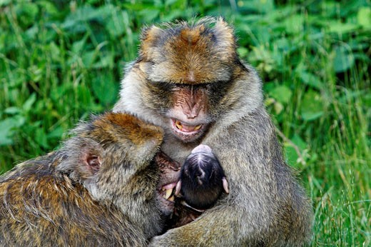 Stock Photo: 1566-525554 Barbary Macaque (Macaca sylvanus). Montagne des Singes park, Kintzheim, Alsace, France