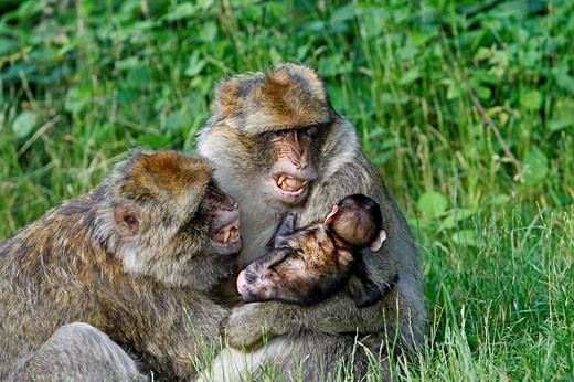 Barbary Macaque (Macaca sylvanus). Montagne des Singes park, Kintzheim, Alsace, France : Stock Photo