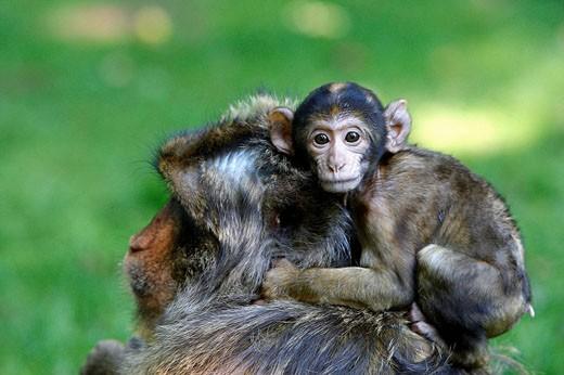 Barbary Macaque (Macaca sylvanus). Montagne des Singes park, Kintzheim, Alsace, France : Stock Photo
