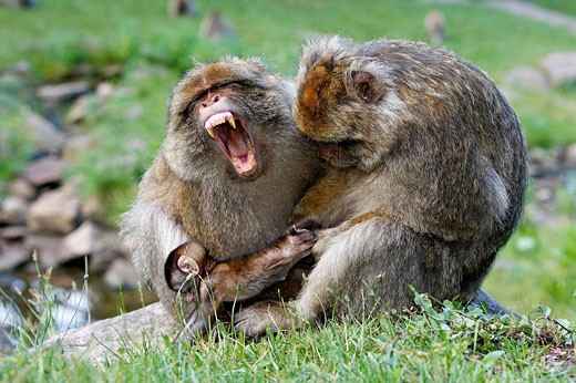 Barbary Macaque (Macaca sylvanus) two males fighting and holding a baby. Montagne des Singes park, Kintzheim, Alsace, France : Stock Photo