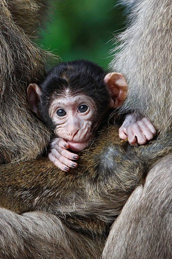 Stock Photo: 1566-525563 Barbary Macaque (Macaca sylvanus) two males holding a baby. Montagne des Singes park, Kintzheim, Alsace, France