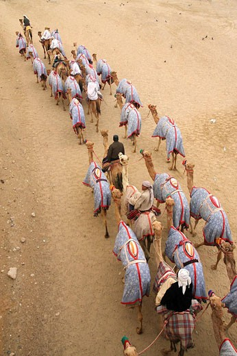 Stock Photo: 1566-527393 A massive herd of racing camels heads home after a morning of training at the track.