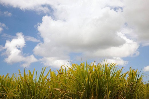 Sugar cane, Les Makes, Reunion island, France : Stock Photo