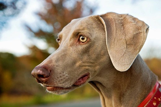 Stock Photo: 1566-531354 Portrait of a 10 year old Weimaraner, MR PR 3040
