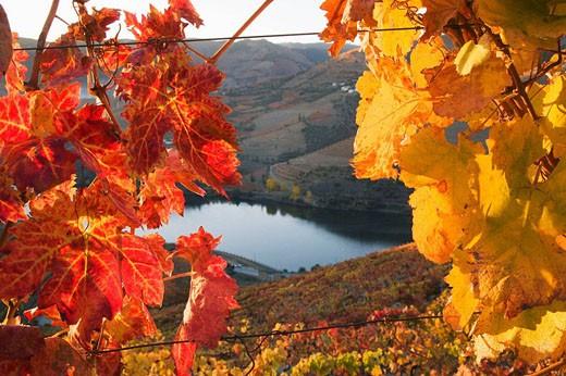 Vineyards and Douro River, Cima Corgo zone, Portugal : Stock Photo