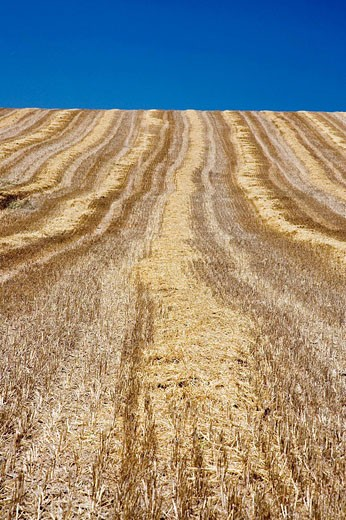 Wheat field after reaping. Sevilla province, Andalucia, Spain : Stock Photo