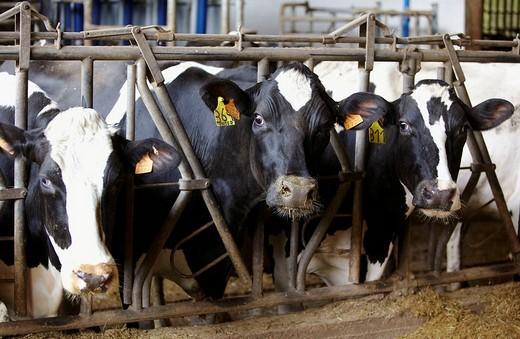 Dairy cows in farm, Azpeitia, Gipuzkoa, Basque Country, Spain : Stock Photo
