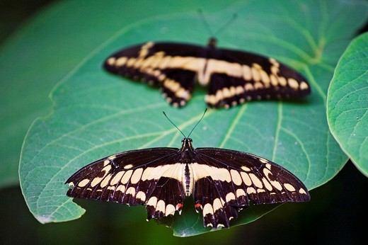 Butterfly, Cahuita. Caribbean Coast, Costa Rica : Stock Photo