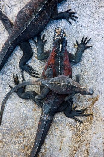 Marine Iguana (Amblyrhynchus cristatus), Hood Island, Galapagos Islands, Ecuador : Stock Photo