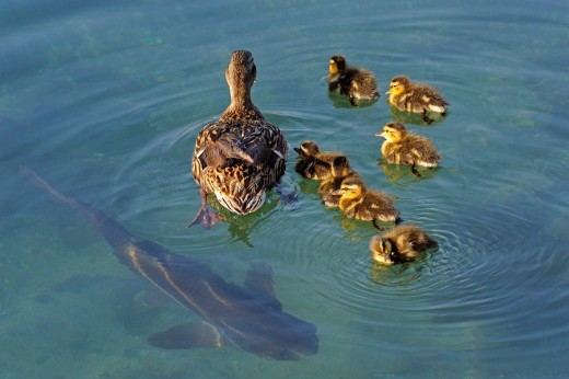 Duck family with large catfish swimming under : Stock Photo
