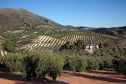 Stock Photo: 1566-542313 Olive grove and ´cortijo´, Priego de Cordoba, Cordoba province, Andalusia, Spain
