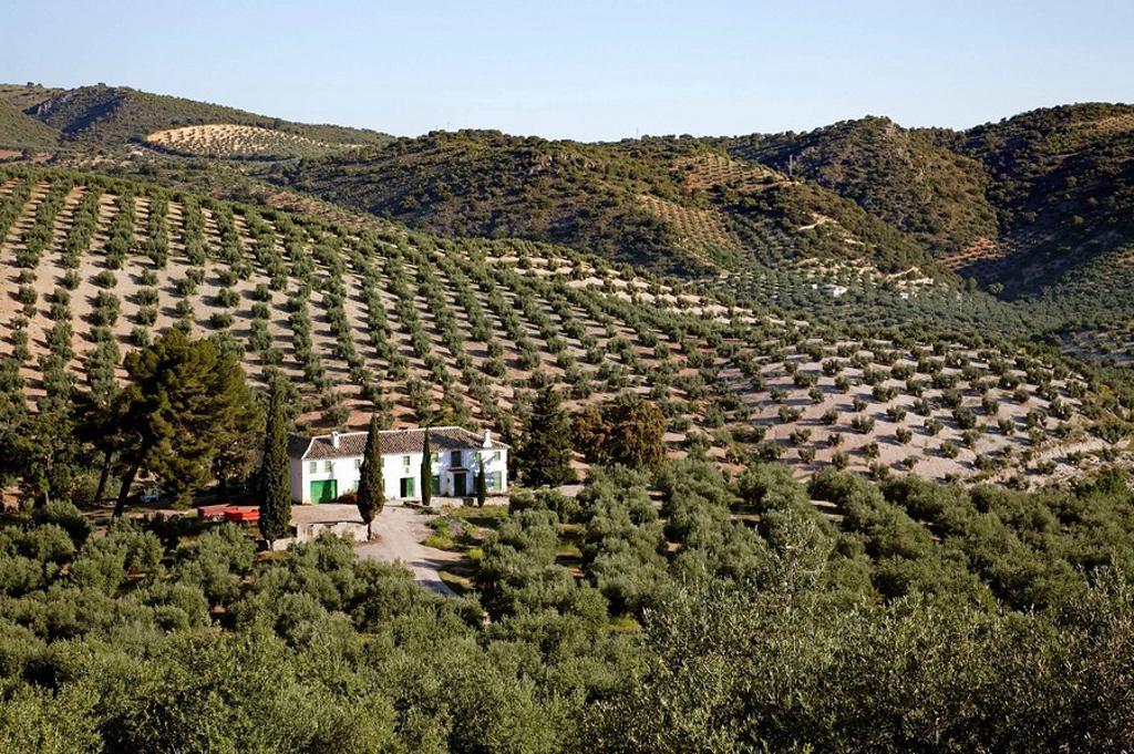 Stock Photo: 1566-542314 Olive grove and ´cortijo´, Priego de Cordoba, Cordoba province, Andalusia, Spain
