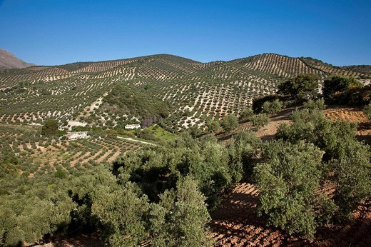 Olive grove, Priego de Cordoba, Cordoba province, Andalusia, Spain : Stock Photo