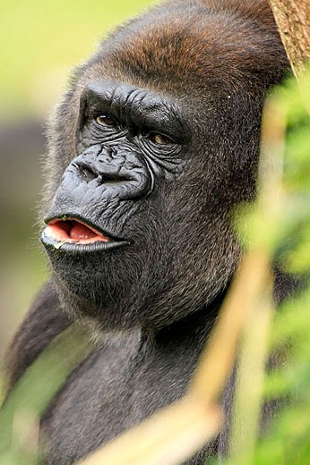 Mountain gorilla (Gorilla gorilla). Germany : Stock Photo