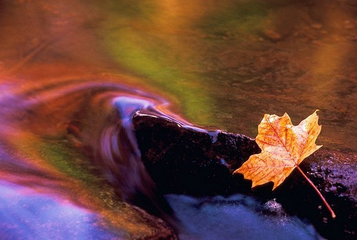 Stock Photo: 1566-551771 Maple leaf on a rock with autumn colors reflecting in stream, Gatineau Park, Quebec, Canada
