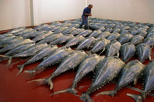 Stock Photo: 1566-560002 Tuna fishes to be caned at the USISA factory, Isla Cristina, Huelva province, Andalusia, Spain
