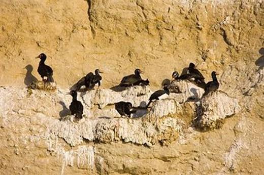 Stock Photo: 1566-560416 Rock Cormorant (Phalacrocorax magellanicus), Valdes Peninsula, Patagonia, Argentina