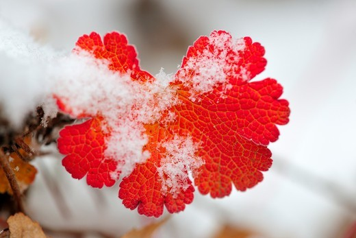 Stock Photo: 1566-565568 Geranium leaves in autumn, with a dusting of snow