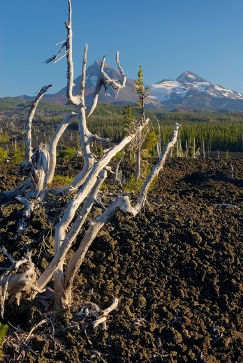 Sun bleached trees stand out among the black lava fields of McKenzie Pass Oregon  The Three Sisters volcanoes are in the distance : Stock Photo