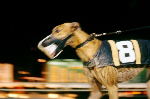 Stock Photo: 1566-566601 Blurred Greyhound Racing Dog  Naples/Ft  Myers track in Florida, USA