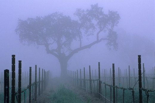 Stock Photo: 1566-566696 Oak tree and fog in vineyard in spring, near Villa Toscana, Paso Robles, San Luis Obispo County, California