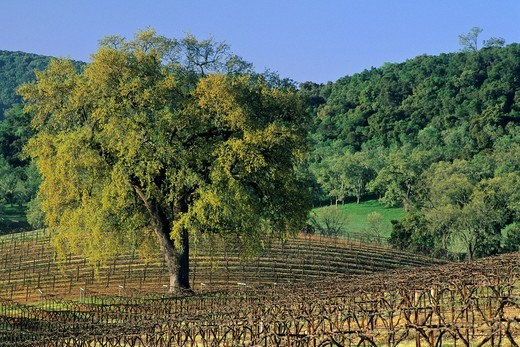 Oak tree in vineyard in early spring, along Vineyard Drive, Paso Robles, San Luis Obispo County, California : Stock Photo