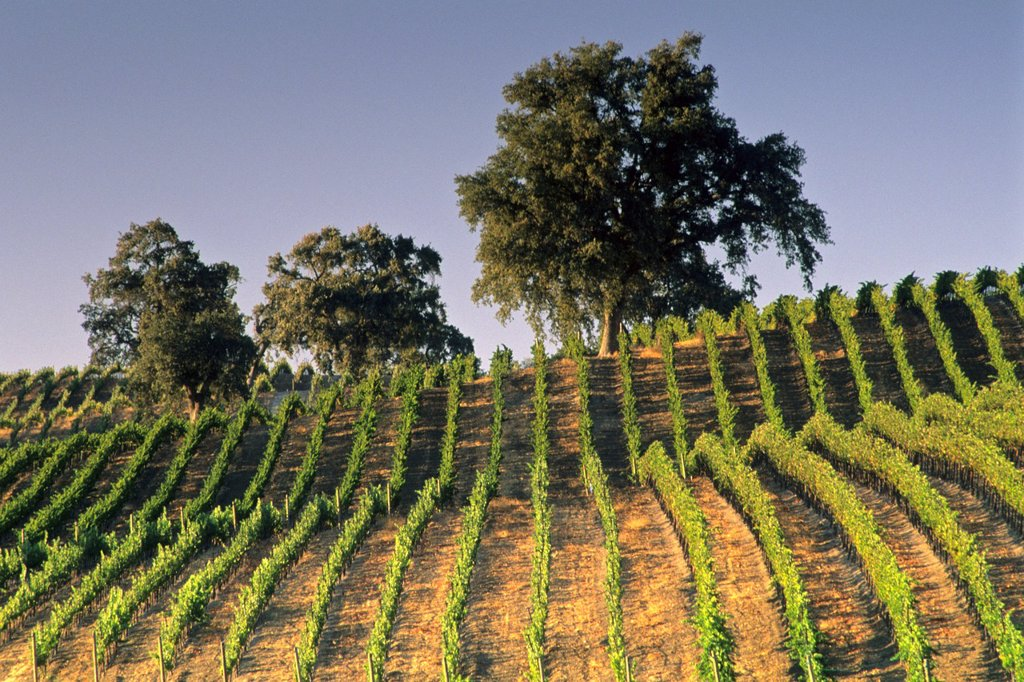 Stock Photo: 1566-566710 Vineyards at Summerwood Winery, Paso Robles, San Luis Obispo County, California