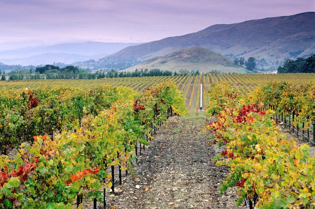 Vineyards in the Edna Valley in fall, near San Luis Obispo, San Luis Obispo County, California : Stock Photo