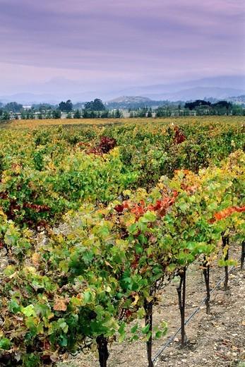 Stock Photo: 1566-566734 Vineyards in the Edna Valley in fall, near San Luis Obispo, San Luis Obispo County, California
