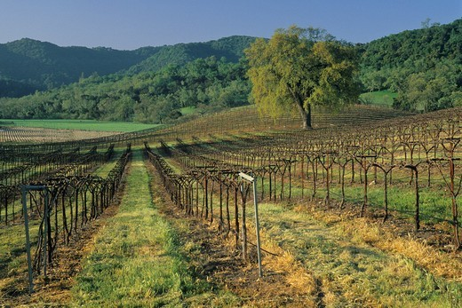 Stock Photo: 1566-567092 Oak tree in vineyard in early spring, along Vineyard Drive, Paso Robles, San Luis Obispo County, California