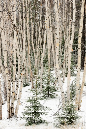 Birch woodland in early winter : Stock Photo