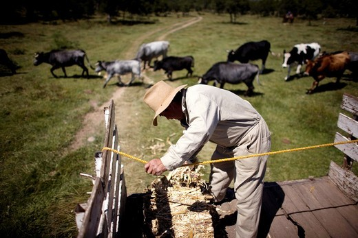 Stock Photo: 1566-567442 A foreman pushes hay on to the ground for fighting bulls and cows on Piedras Negras ranch in Apizaco, Tlaxcala, Mexico.