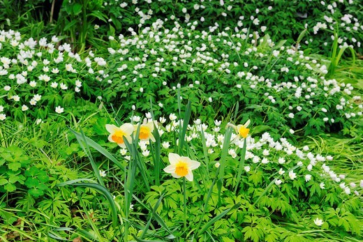 Wood anemone and white daffodils. Ontario. Canada. : Stock Photo