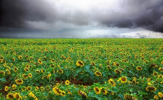 Stock Photo: 1566-570245 France, 85, Vendee: A field of sunflowers under cloud