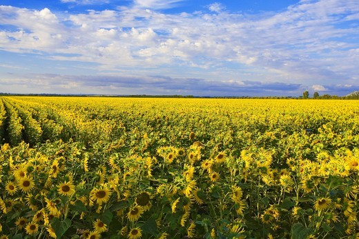 France, 85: field of sunflowers : Stock Photo