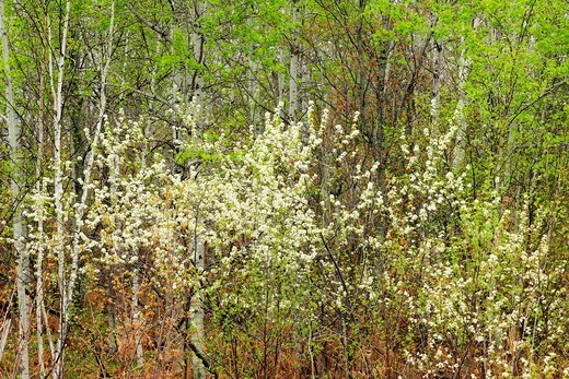 Stock Photo: 1566-570829 Flowering pincherries at edge of woodland. Ontario. Canada.