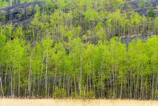 Stock Photo: 1566-570839 Aspen trees at edge of marsh. Ontario. Canada.