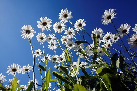 Ox-eye Daisy Leucanthemum vulgare, flowering against a blue sky, Germany : Stock Photo