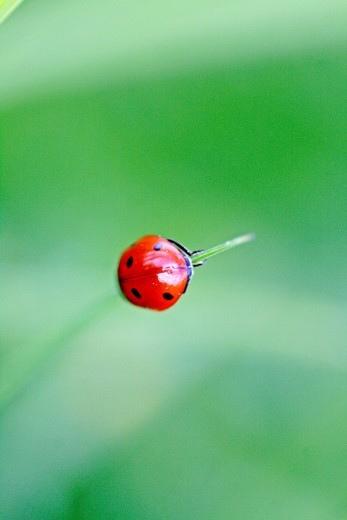 Stock Photo: 1566-571656 Seven-spotted ladybird Beetle, coccinella septempunctata hanging on an very thing blade of grass