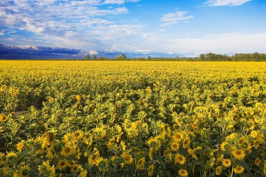 Stock Photo: 1566-572181 France, 85: field of sunflowers