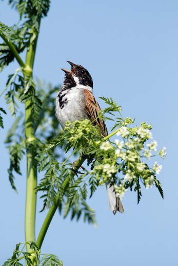 Reed bunting Emberiza schoeniclus, male perched on flowering hemlock, singing, Germany : Stock Photo