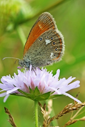 Chestnut Heath, Coenonympha glycerion on pink scabious : Stock Photo