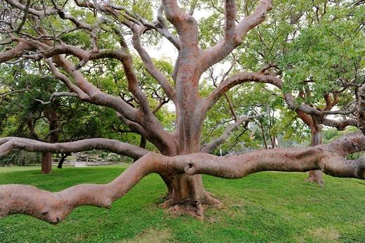 70 year old gumbo limbo tree at the DeSoto National Memorial Bradenton Florida : Stock Photo